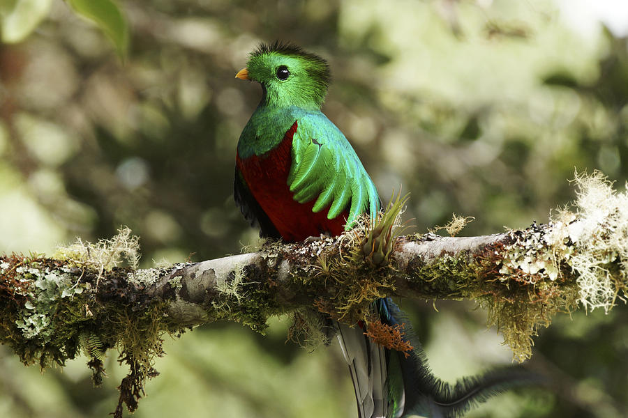 Resplendent Quetzal Male Costa Rica Photograph by Hiroya Minakuchi
