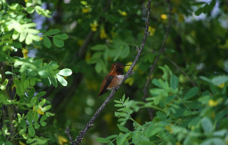 Hummingbird Photograph - Restful Perch by Jacki Smoldon