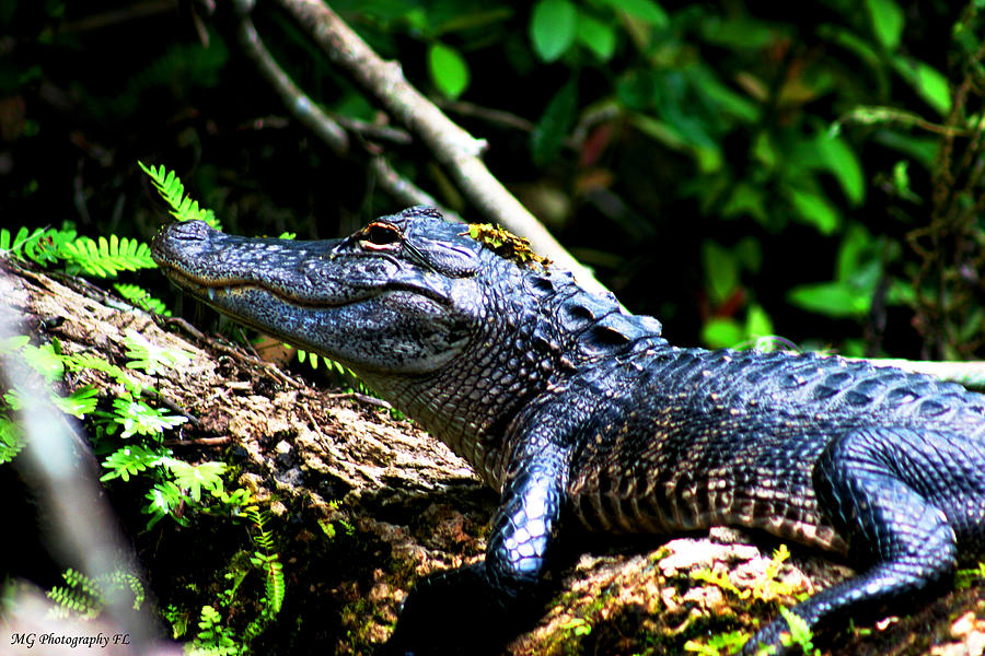 Gator Photograph - Resting Alligator  by Marty Gayler