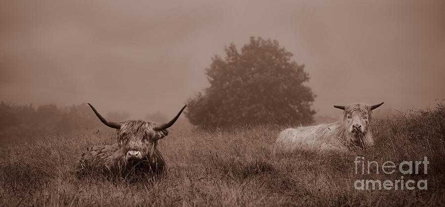 Two Cows Photograph - Resting Beasts by Linsey Williams