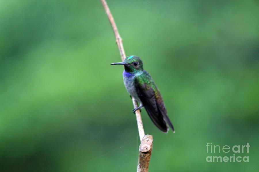 Hummingbirds Photograph - Resting by Bob Hislop