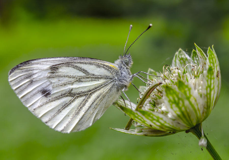 Flower Photograph - Resting Butterfly by Adam Budziarek