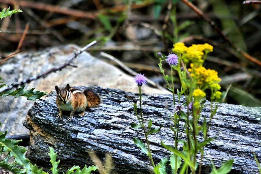 Wildlife Photograph - Resting Chipmunk  by Rebecca Adams