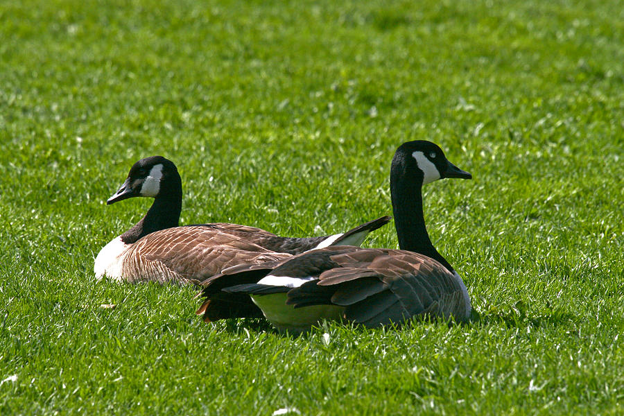 Goose Photograph - Resting Geese by John Holloway