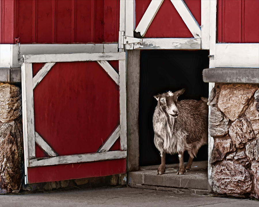 Goat Photograph - Resting Place by Nikolyn McDonald