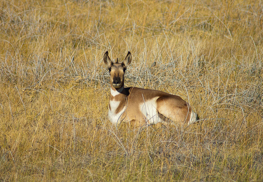 Animal Photograph - Resting Pronghorn by Sarah Crites