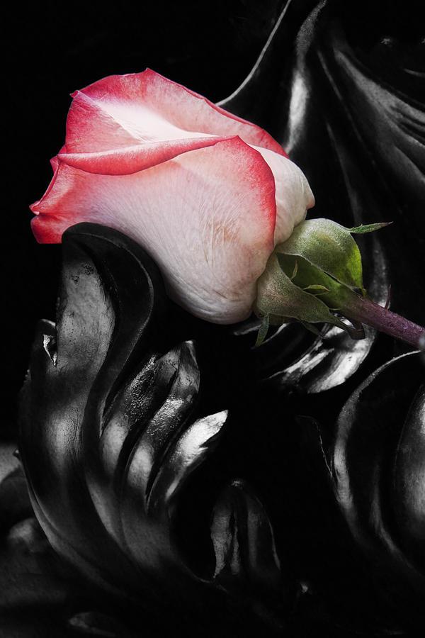 Black Photograph - Resting Rose by Tom Mc Nemar