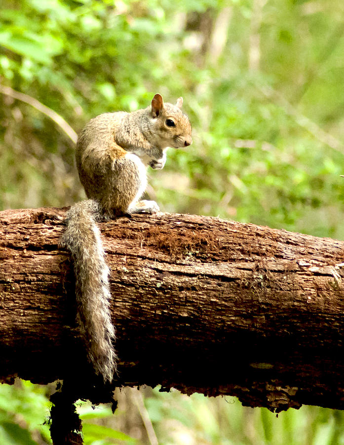 Grey Squirrel Photograph - Resting Squirrel by Norman Johnson