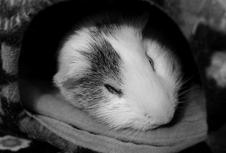 Cavy Photograph - Restless Sleep by Luke Moore