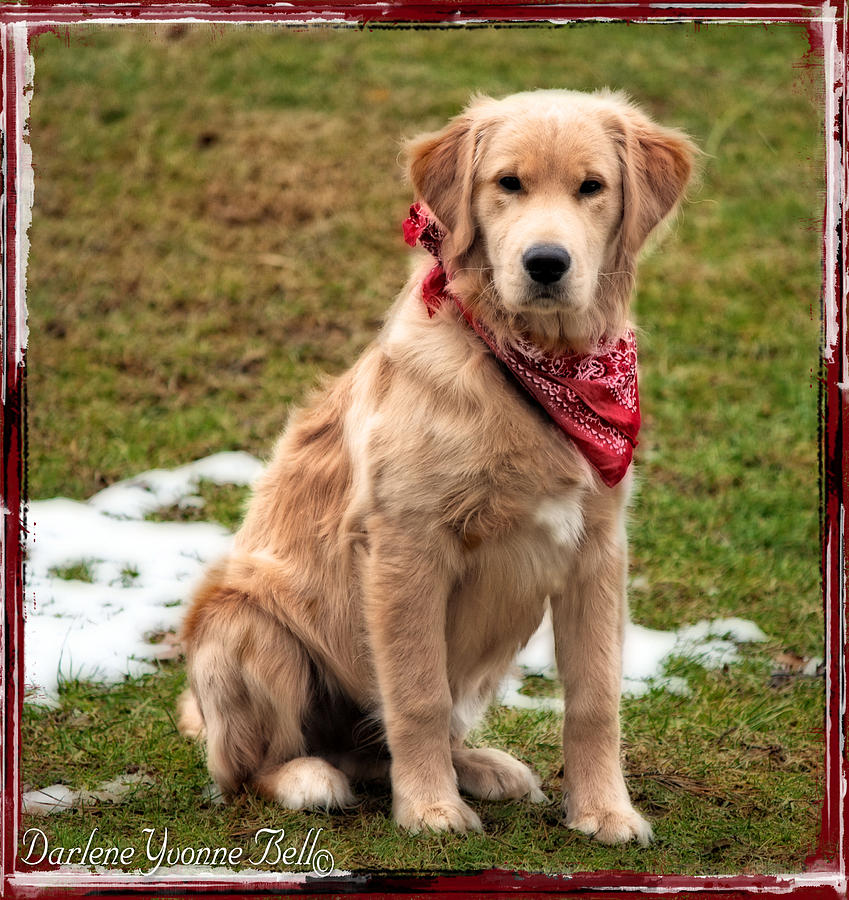 Dogs Photograph - Retriever Puppy In Red Bandana by Darlene Bell