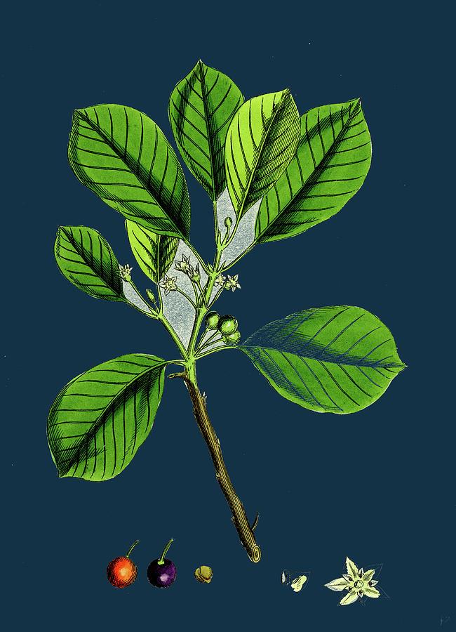 Rhamnus Frangula Berry Bearing Alder Drawing By English School