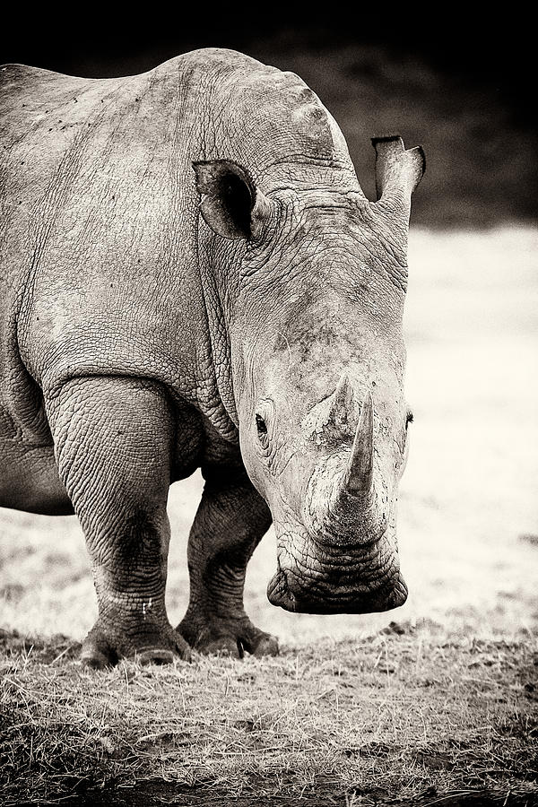 Africa Photograph - Rhino After The Rain by Mike Gaudaur