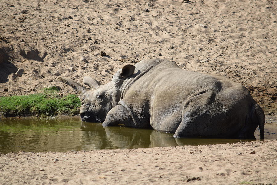 Rhino In The Mud Photograph