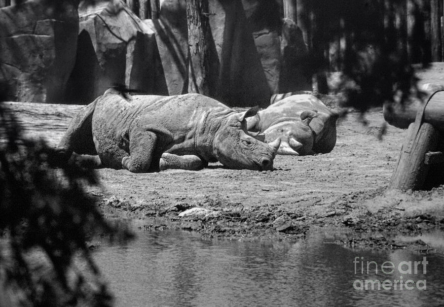 Animals Photograph - Rhino Nap Time by Thomas Woolworth