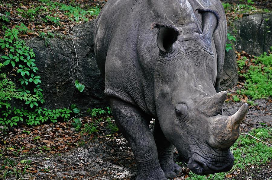 Disney Animal Kingdom Photograph - Rhino by Rachael M