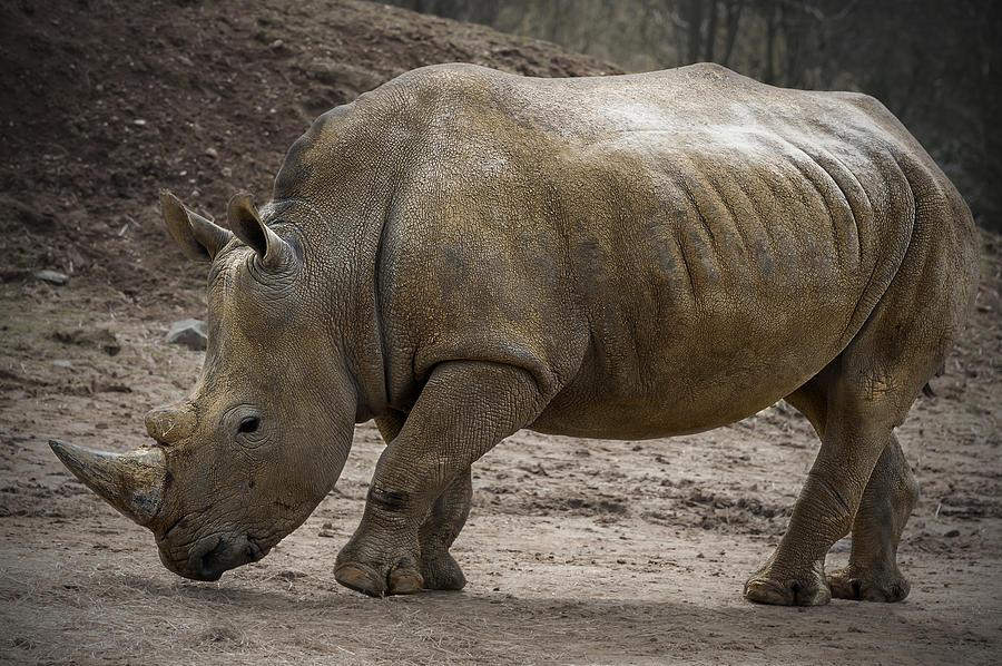 Rhinoceros Photograph - Rhinoceros by Svetlana Sewell