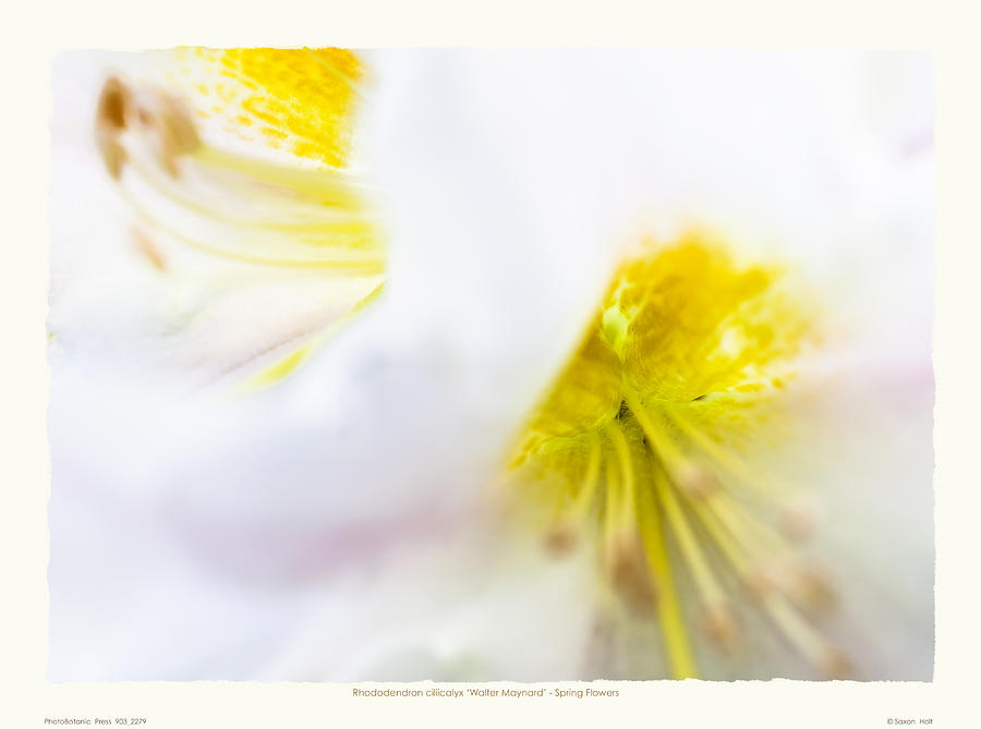 Fragrant Photograph - Rhodendron walter Maynard - Spring Flowers by Saxon Holt