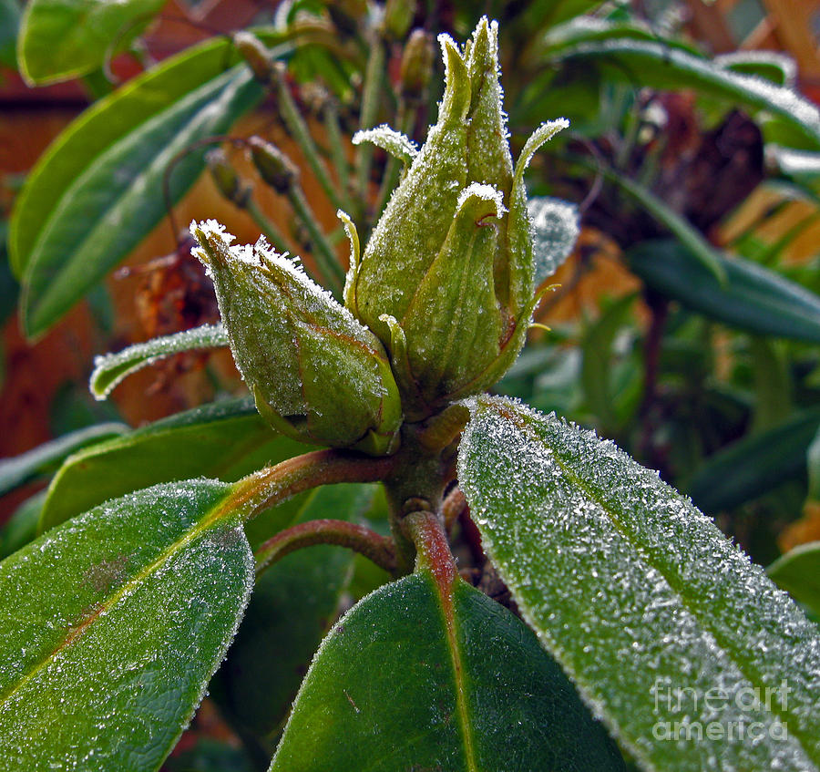 Frost Photograph - Rhododendron - Frosted Flowerheads by Ellen Miffitt