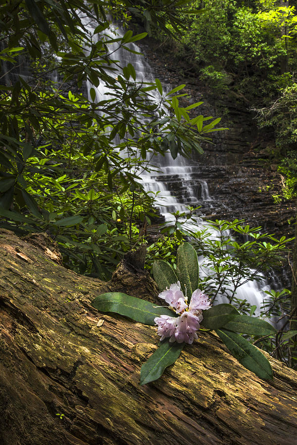 Appalachia Photograph - Rhododendron At The Falls by Debra and Dave Vanderlaan