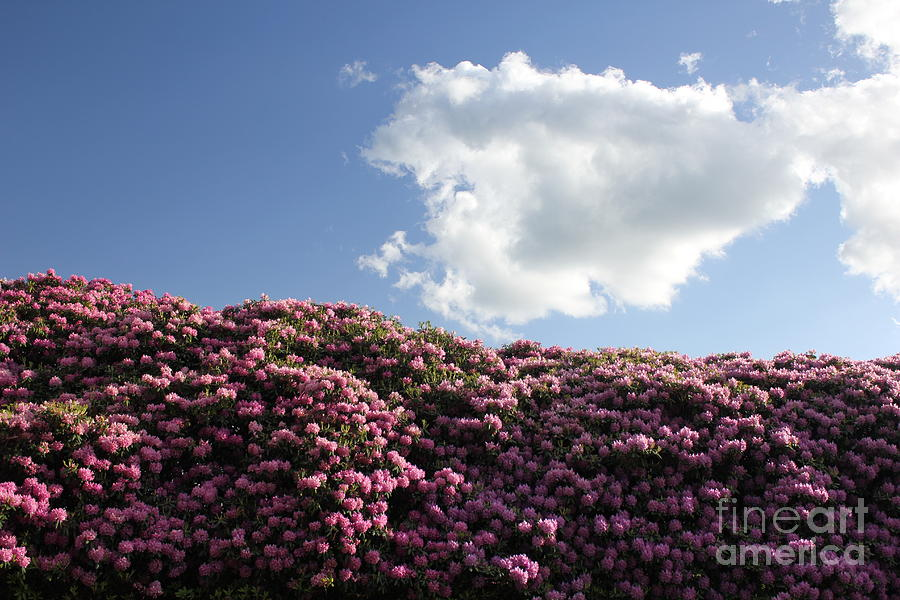 Landscape Photograph - Rhododendron by Melissa Petrey