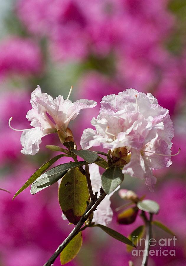 Arboretum Photograph - Rhododendron by Steven Ralser