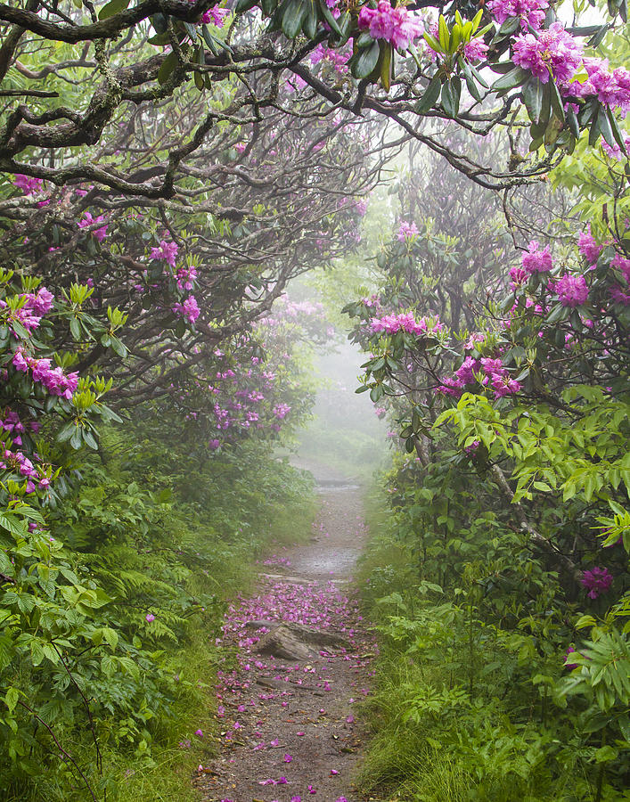 Rhododendron Photograph - Rhododendron Time In North Carolina by Bill Swindaman