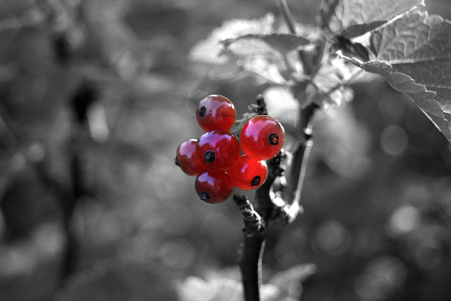 Ribes Photograph by Adam  S