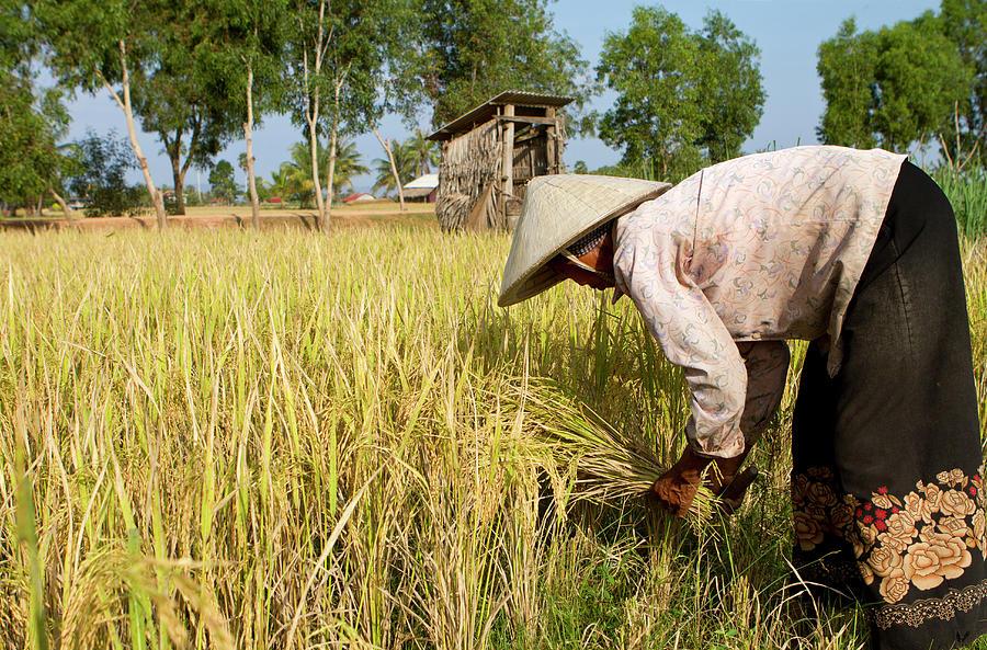 Rice Farmer In Cambodia Photograph by Joakimbkk