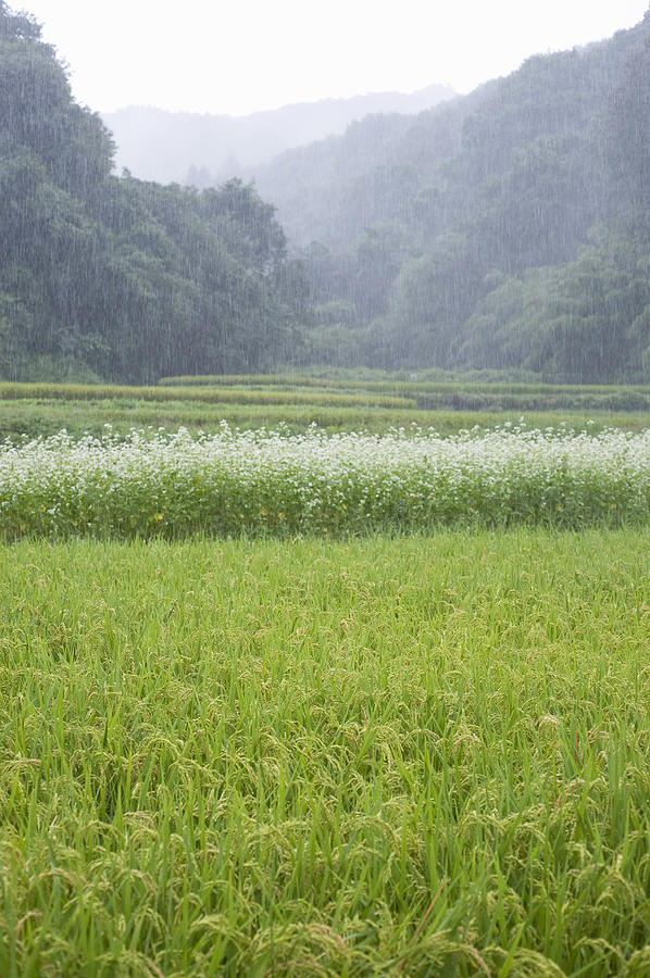 Rice Field And Buckwheat Flowers At Dawn Photograph by Wataru Yanagida