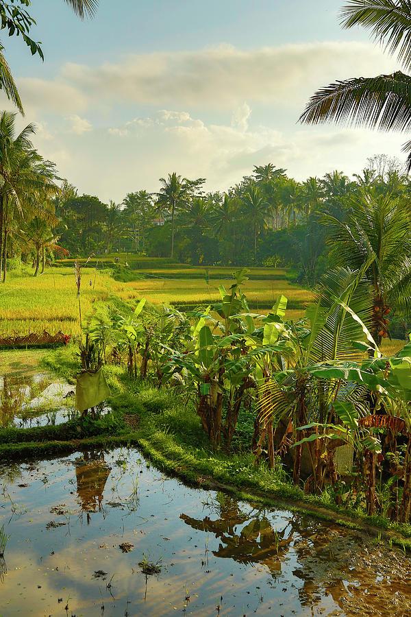 Rice Field, Bali, Indonesia Photograph by Bob Pool