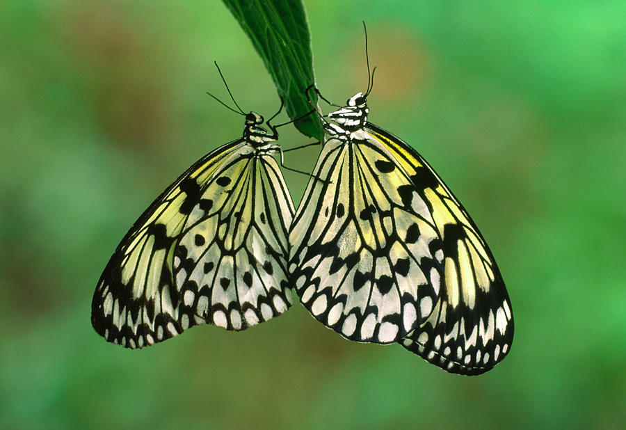 Animal Photograph - Rice Paper Butterflies Mating by Nigel Downer