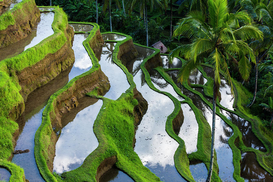 Rice Terraces In Central Bali Indonesia Photograph by Gavriel Jecan