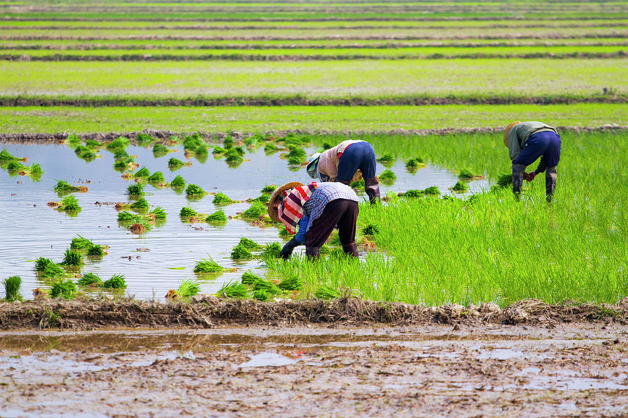 Rice Transplanting Photograph by Jean-claude Soboul