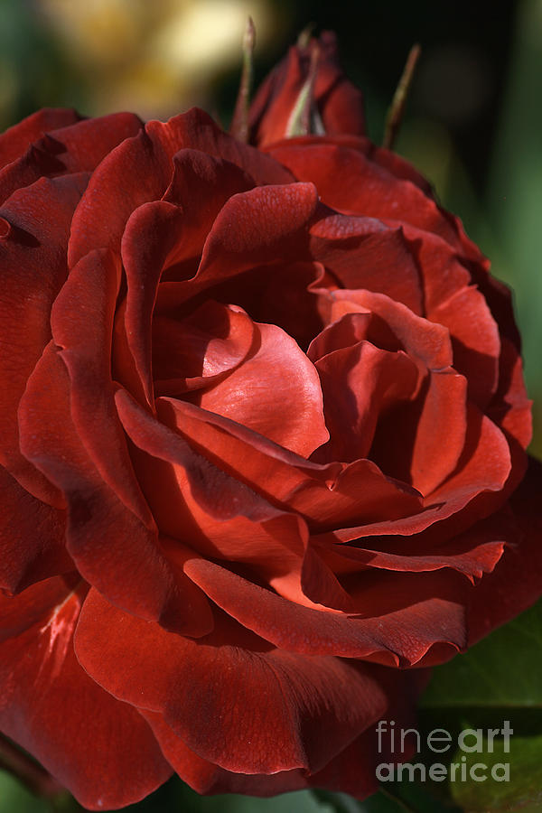 Rose Photograph - Rich Is Rose by Joy Watson