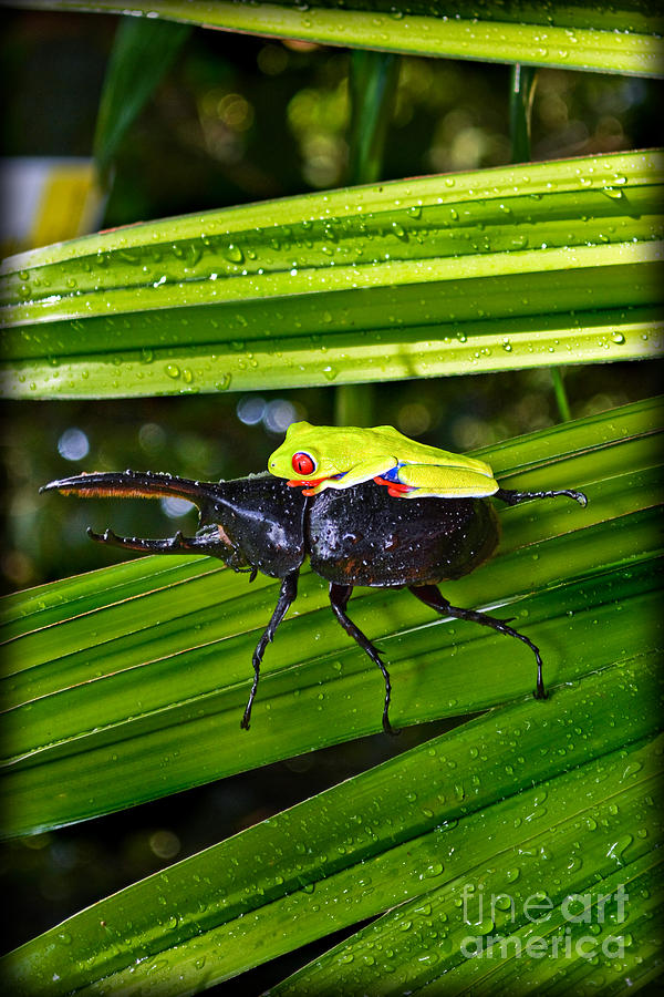 Rhino Beetle Photograph - Riding Into Battle by Gary Keesler