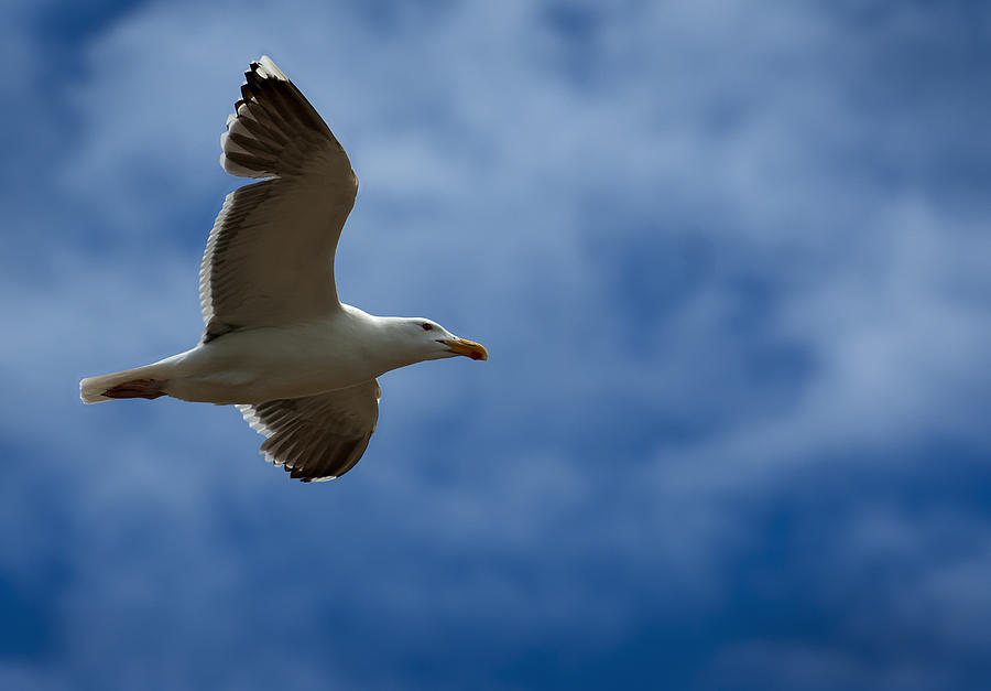 Gull Photograph - Riding The Currents by Murray Bloom