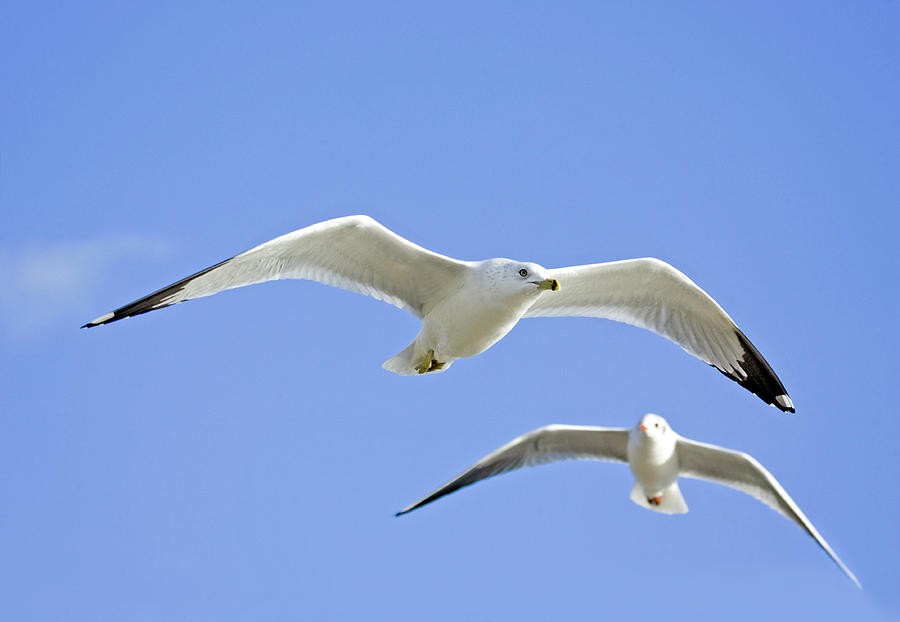 Larus Delawarensis Photograph - Ring Billed Gull And Black-headed Gull by John Devries/science Photo Library