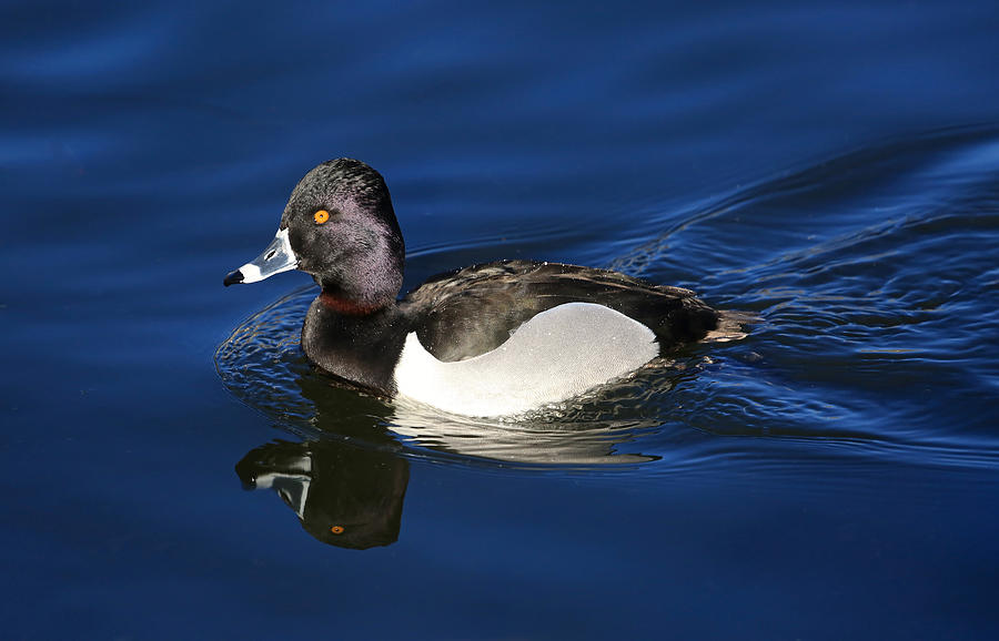 Ring Necked Duck Photograph - Ring-necked Duck by Donna Kennedy