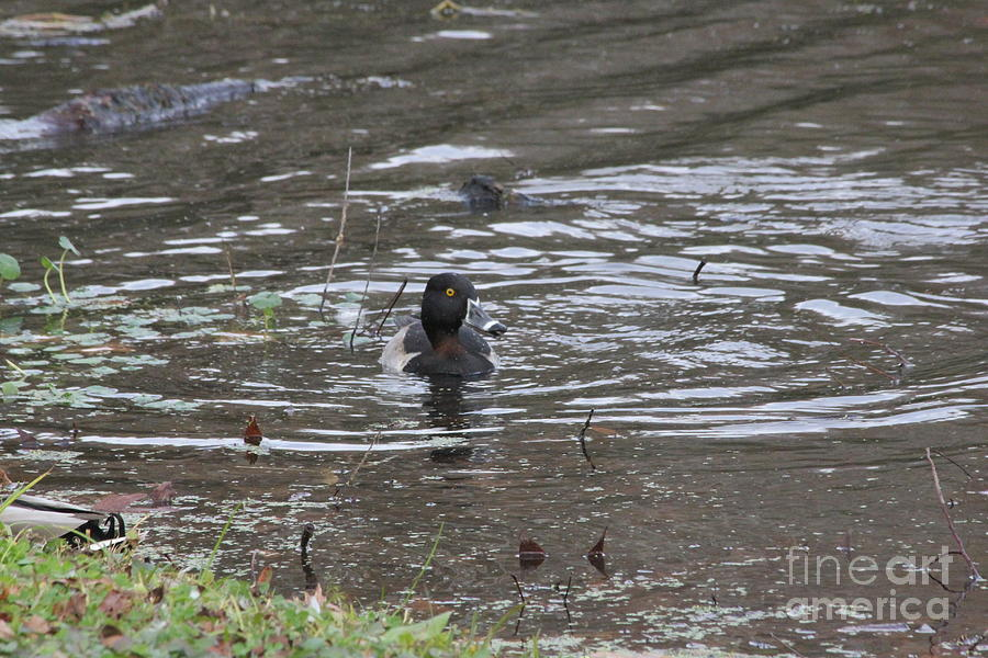 Ring-Necked Duck by Richard Amble