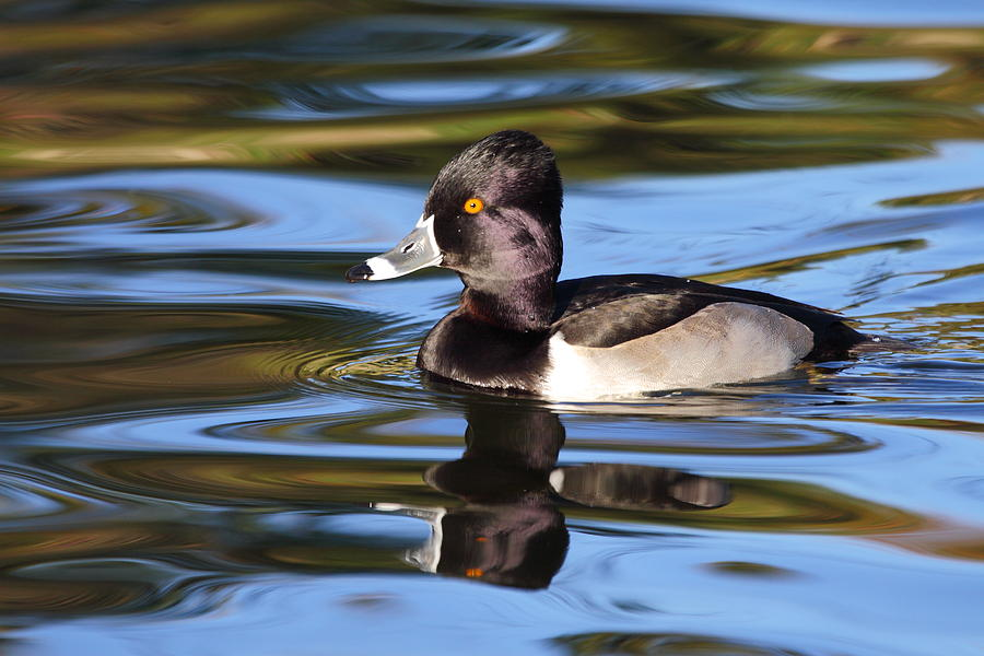 Ring-necked Duck Photograph - Rings around Ring-necked Duck by Andrew McInnes