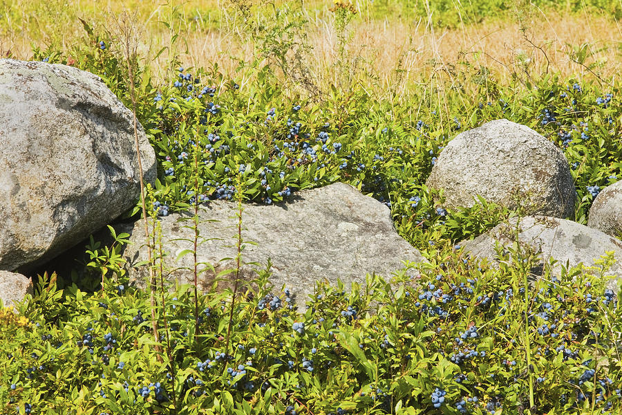Blueberry Photograph - Ripe Maine Low Bush Wild Blueberries by Keith Webber Jr
