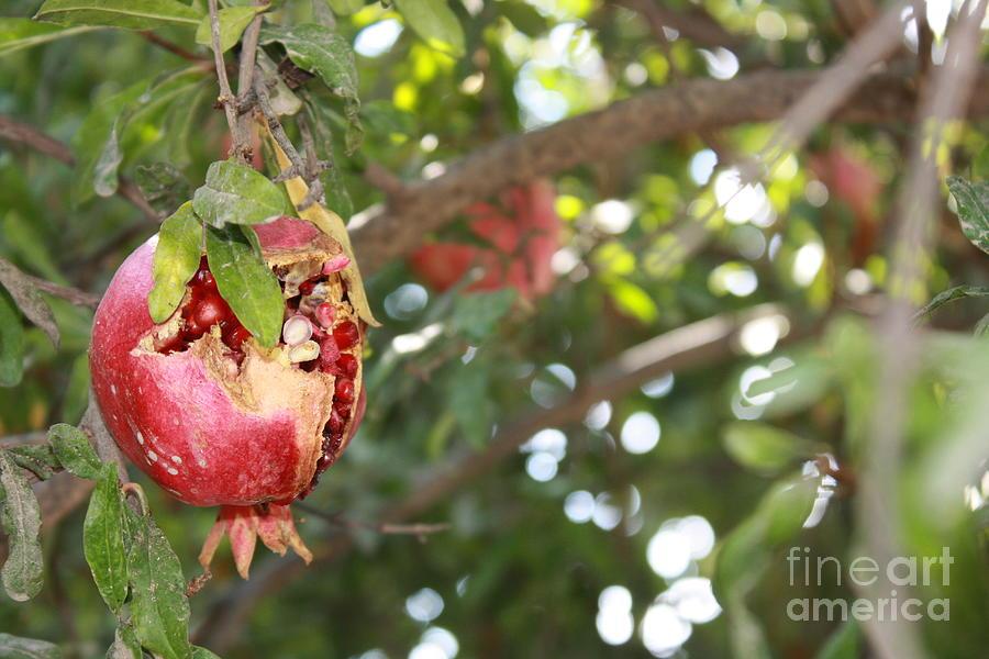 Ripe Pomegranate by Julie Alison