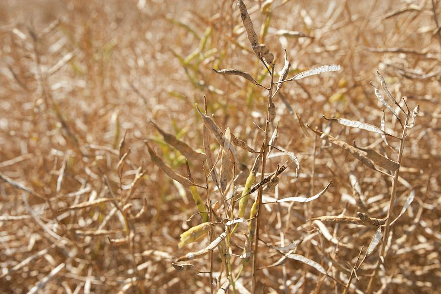 Rapeseed Photograph - Ripe Rapeseed Crop by Lewis Houghton/science Photo Library