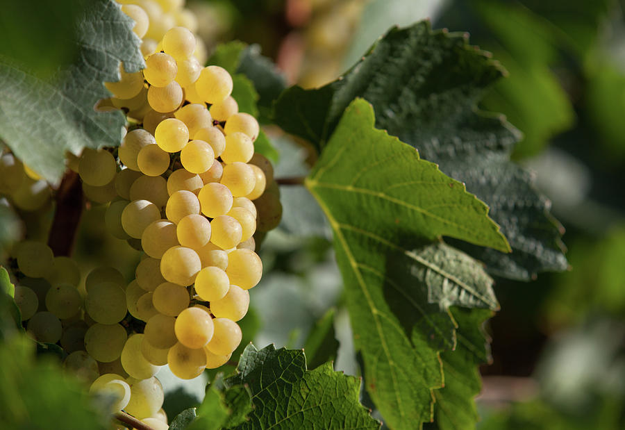 Ripe Wine Grapes Photograph by Tatami skanks