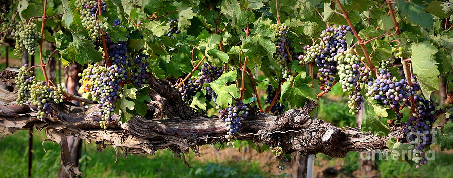 Grapes Photograph - Ripening Grapes by Carol Groenen
