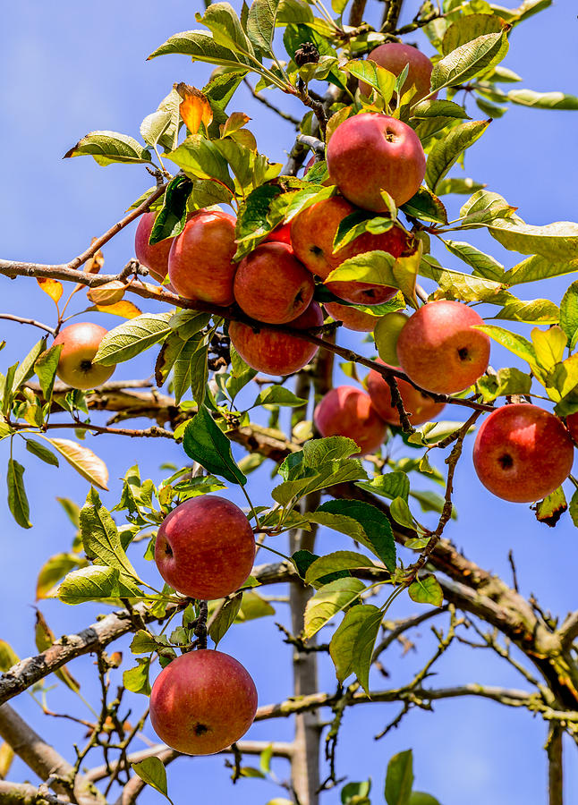 Food And Beverage Photograph - Ripening In The Sun by Zina Stromberg