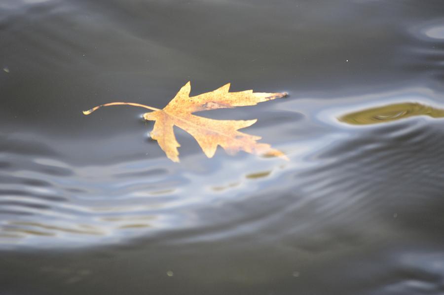 Leaf Photograph - Rippled Maple Leaf by Bonfire Photography