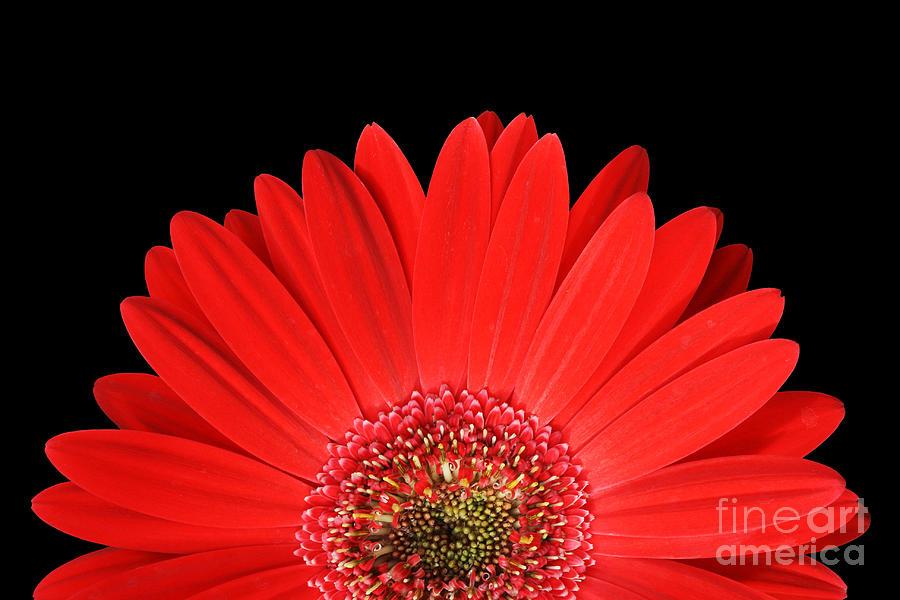 Gerbera Daisy Photograph - Rise And Shine by Judy Whitton