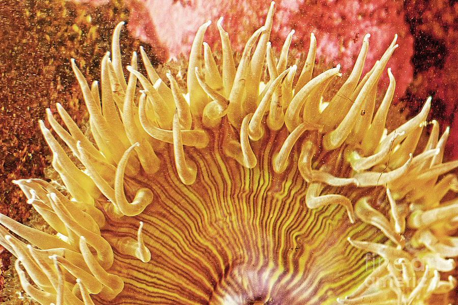 Sea Anenome Photograph - Rise And Shine Sea Anemone- Pictures Of Sea Creatures - Sea Anenome  by Artist and Photographer Laura Wrede