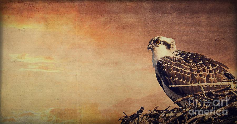 Osprey Photograph - Rising Sun by Edward Fielding